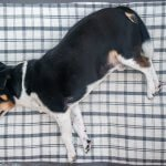 obese-dogs get your dog fit and healthy